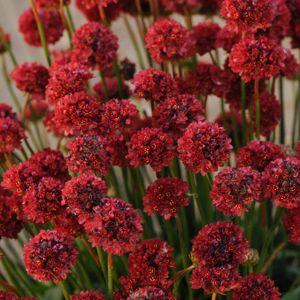 poza Flori de gradina perene Armeria pseudoarmeria Ballerina Red, cul rosie