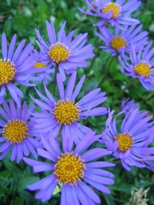 poza Flori de gradina perene Aster alpinus Light Blue, floare bleu
