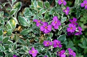 poza Flori de gradina perene Aubrieta Argenteovariegata , culoare albastra, frunzis variegat