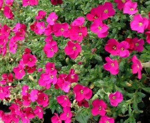 poza Flori de gradina perene Aubrieta Bressingham Red, culoare rosie