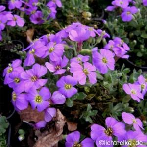 poza Flori de gradina perene Aubrieta Schloss Eckberg, culoare lila