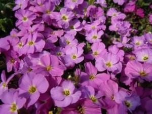 poza Flori de gradina perene Aubrieta Kittle Rose, culoare roz
