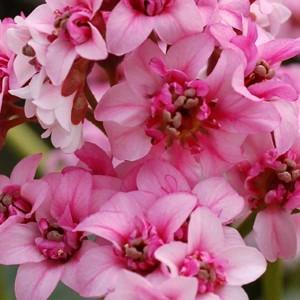 poza Flori de gradina perene Bergenia cordifolia, floare roz