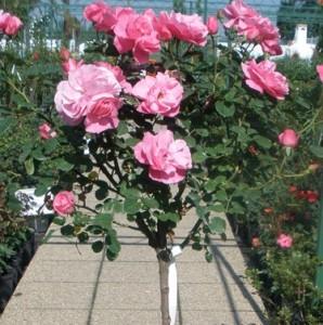 poza Trandafiri altoiti pe picior h=1.2-1.3 m. Thea hybrida, colorati si parfumati, foarte vigurosi, roz