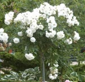 poza Trandafiri altoiti pe picior h=1.2-1.3 m. Thea hybrida, colorati si parfumat la ghiveci, alb