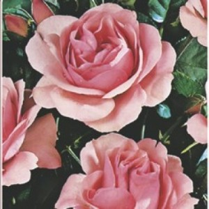 poza Trandafiri de gradina Polyantha Kimono, planta formata cu radacina in ghiveci de 3.5 litri