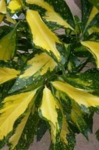 poza Arbust frunze persistente Aucuba japonica 'Picturata', h=80-100, foarte ramificata