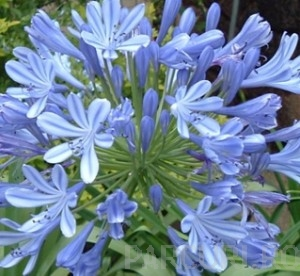 poza Flori perene, Agapanthus umbellathus Blue, crin african, ghivece mare 10 litri, h - 1 m