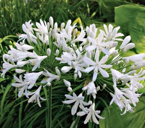 poza Flori perene, Agapanthus umbellathus White  crin african, ghivece mare 10 litri, h - 1 m