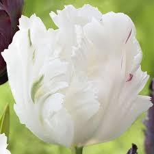 poza Bulbi de lalele grupa Papagal, White, 3 buc./punga, culoare alba