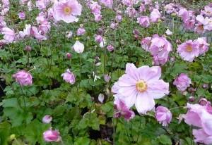 poza Flori de gradina perene Anemone Konigin Charlotte , ghiv. 15 cm diametru, floare roz