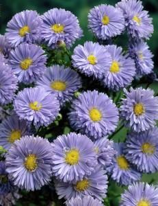 poza Flori de gradina perene Aster Novi-Belgii Marie Ballard (aster, steluta, ochiul boului de munte), fl albastra