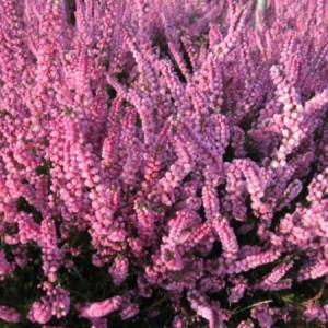 poza Flori perene Calluna vulgaris Herbstfeuer, flori roz, (caluna) ghivece 12 cm,