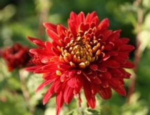 poza Flori de gradina perene Chrysanthemum x indicum Brennpunkt, crizantema, culoare rosie, ghiv. 12 cm diam
