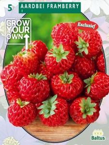 poza Capsuni stoloni, soiul `Aardbei Framberry`  fructe mari, 5 stoloni/pachet