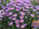 Flori de gradina perene Aster alpinus (aster, steluta, ochiul boului de munte)