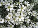 Flori de gradina  perene Cerasitium tomentosum