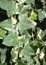 Plante cataratoare Hedera helix Marginata Elegantissima