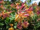 Plante urcatoare Lonicera japonica heckrottii Gold Flame