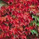 Plante urcatoare Parthenocissus tricuspidata