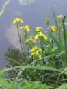 Foto Plante acvatice Iris pseudocorus