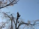 Foto Doborare taiere arbori cu inaltime peste 18 metri. Pomi si copaci uscati inalti cazuti sau periculosi.