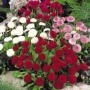 Flori bienale gradina Bellis perennis (paralute,banuti)