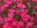 Flori de gradina perene Dianthus deltoides Brillliant