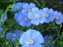 Flori de gradina perene Linum perene (in)