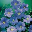 Flori de gradina perene Linum perene Saphir (in