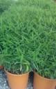 Foto Bambus  Pleioblastus `Pumilus`  h=0.2 m , ghiveci 3 litri