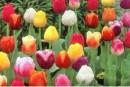 Foto Bulbi de lalele din import Olanda