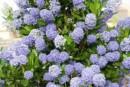 Arbusti gradina Ceanothus thyrsiflorus Blue