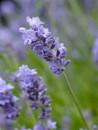 Plante aromatice de  gradina in ghiveci Levantica (Lavandula Angustifolia)