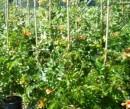 Plante cataratoare Campsis grandiflora Yellow Trumpet la ghiveci