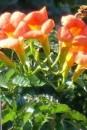 Foto Plante agatatoare Campsis Madame Gallen/Trompetica la ghiveci 3 litri, h=80-100 cm