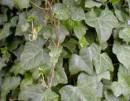 Plante agatatoare Hedera hibernica