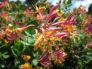 Plante urcatoare Lonicera x heckrottii