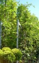 Plante urcatoare Wisteria sinensis (glicina