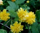 Arbusti gradina Kerria japonica Pleniflora