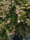 Arbusti parfumati de gradina: Abelia grandiflora