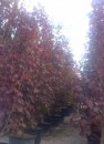 Acer platanoides `Crimson Sentry
