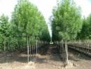 Frasinus angustifolia`Raywood`