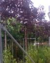 Foto Arbori foiosi ACER PLATANOIDES `CRIMSON KING`12/14circumf. trunchi (70 litri)