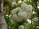 Prunus avium `Plena`