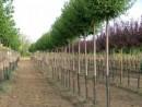 Prunus vructicosa `Globosa`