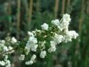 Prunus prunifolia`Pleniflora`