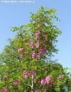Arbori foiosi ROBINIA PSEUDOACACIA CASQUE ROUGE (salcam cu flori rozi)