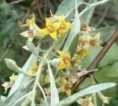 Arbori foiosi ELAEAGNUS ANGUSTIFOLIA (salcie mirositoare, salcioara)
