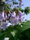 Arbori foiosi de gradina Paulownia tomentosa (paulovnia)